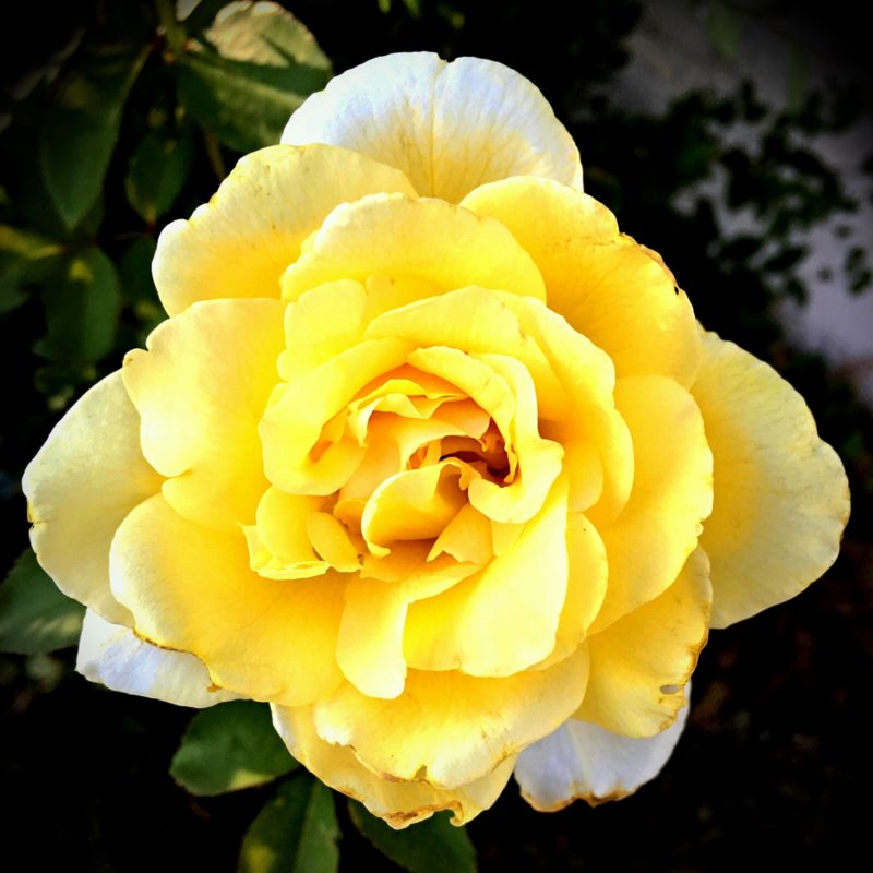 One evening, the Girl and I walked over to the local park. I noticed a rosebush with some pretty yellow blooms. This reminds me of Texas.